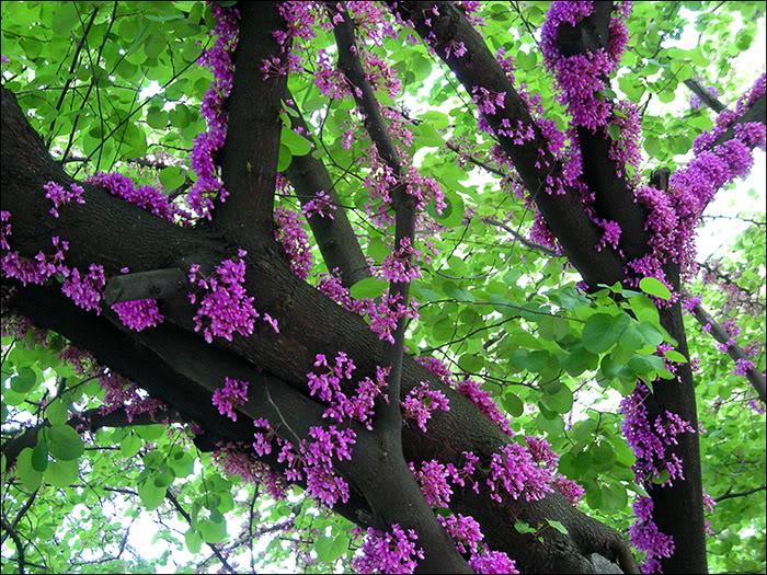 у какого дерева весной белые цветы с сильным запахом