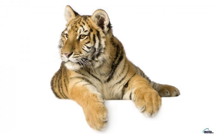 """Комментарии (стр. 1) - Схема вышивки  """"Тигр """" - Схемы автора  """"Svet-lana-OK """" - Вышивка крестом."""