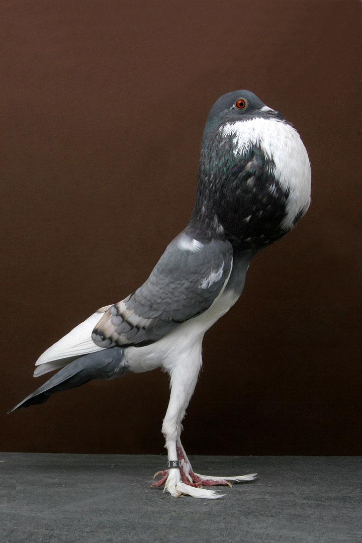Самые красивые голуби мира