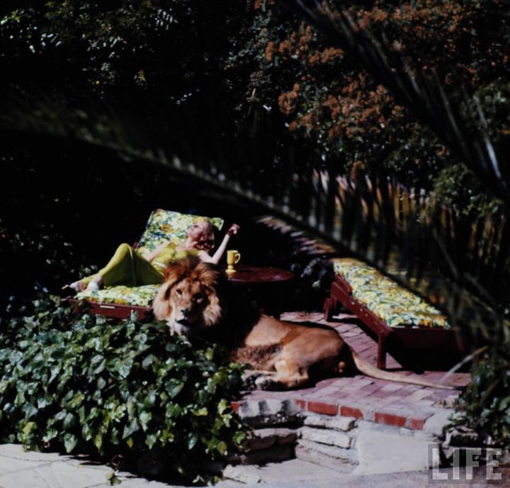 Типпи Хедрен с ручным львом