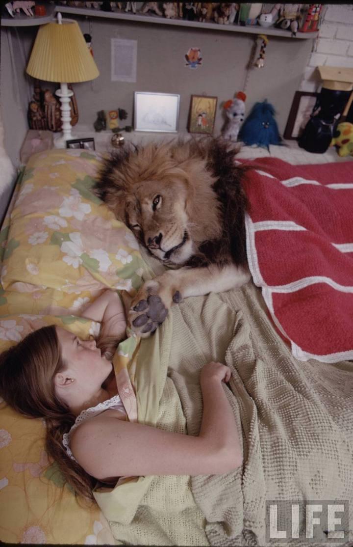 Лев живущий в доме с людьми
