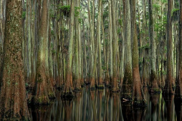 kiparisovie-lesa