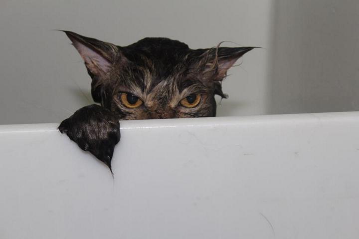 Мокрый кот выглядывает из ванны, прикольное фото