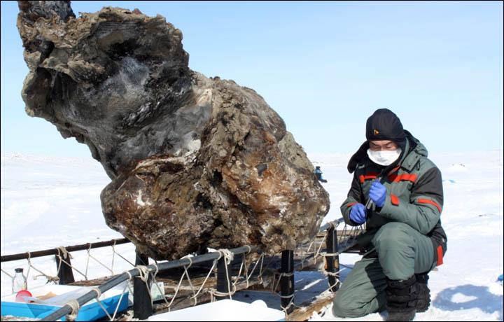 Первый образец крови 10000 летнего мамонта, уникальная находка палеонтологов, хорошо сохранившийся мамонт (1)