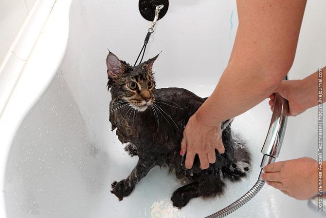 Как нужно правильно мыть кошку, как помыть кошку (10)