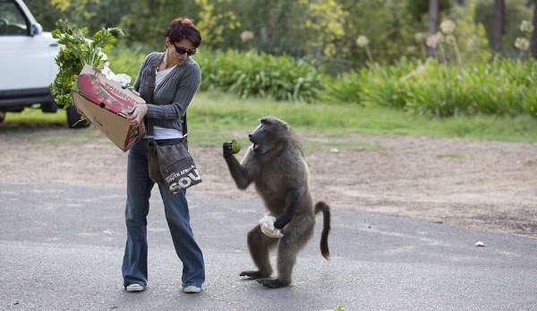 Наглые обезьяны воришки на улицах Кейптауна (8)