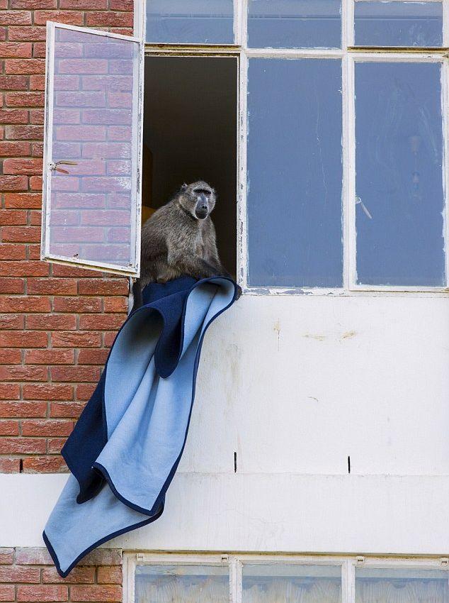 Наглые обезьяны воришки на улицах Кейптауна (7)