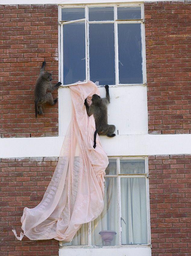 Наглые обезьяны воришки на улицах Кейптауна (6)