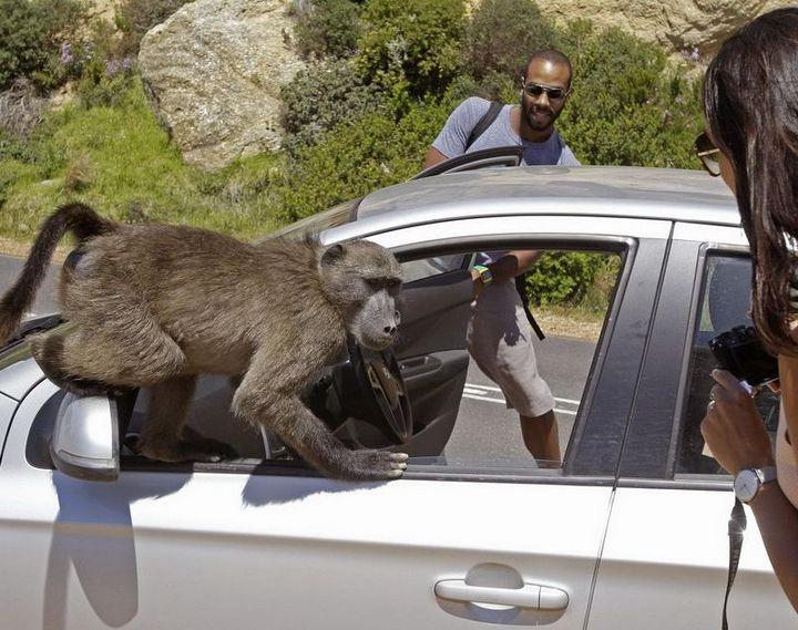 Наглые обезьяны воришки на улицах Кейптауна (2)