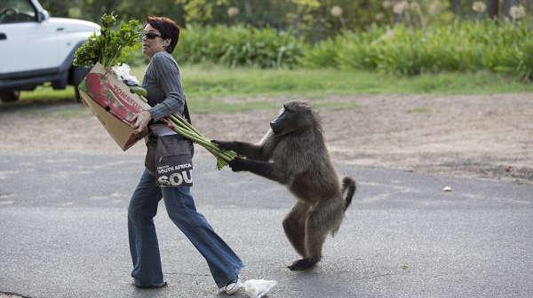 Наглые обезьяны воришки на улицах Кейптауна (9)