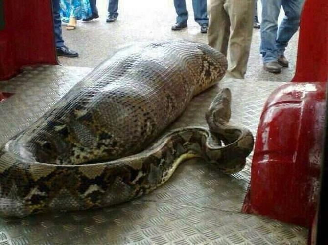 Огромная змея проглотила человека