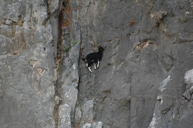 Горные козлы экстремалы (10)