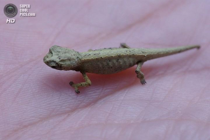 Самый маленький хамелеон на планете, малая Брукезия (8)