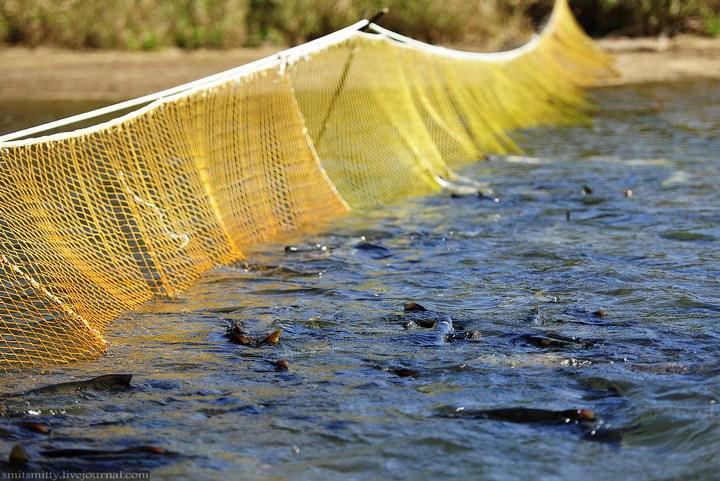 Как разводят лосося, кету, добыча икры лососёвых (5)