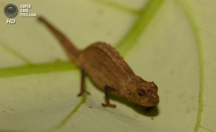 Самый маленький хамелеон на планете, малая Брукезия (5)