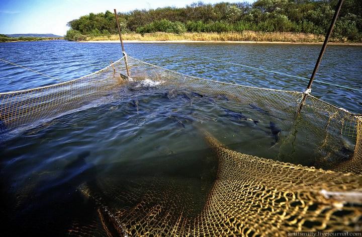 Как разводят лосося, кету, добыча икры лососёвых (10)