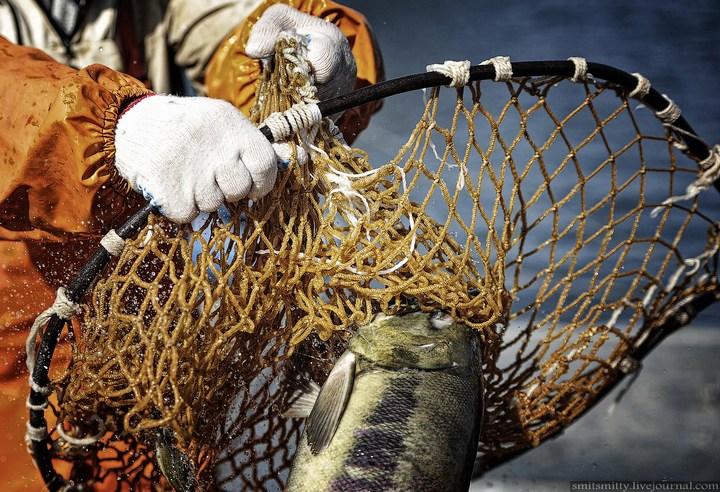 Как разводят лосося, кету, добыча икры лососёвых (13)