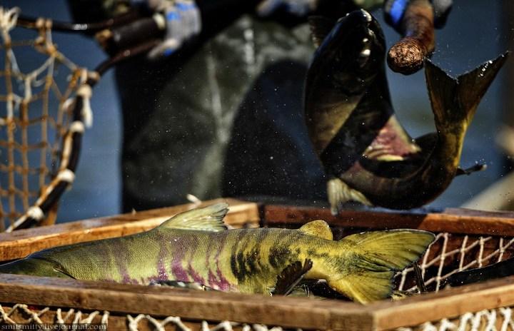 Как разводят лосося, кету, добыча икры лососёвых (18)