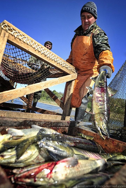 Как разводят лосося, кету, добыча икры лососёвых (27)