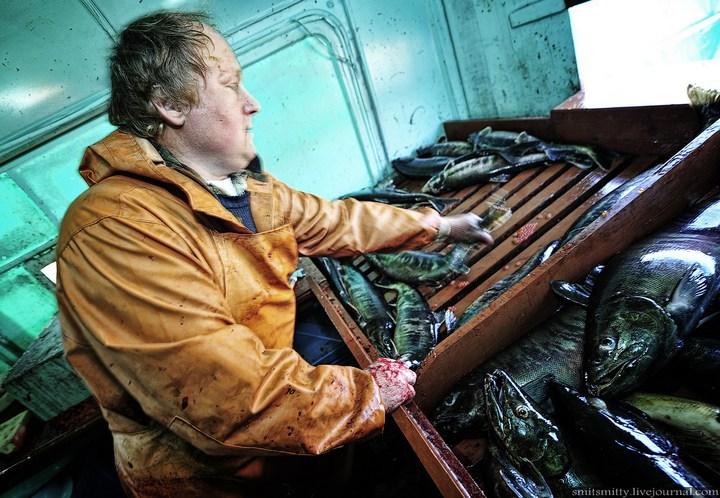 Как разводят лосося, кету, добыча икры лососёвых (31)