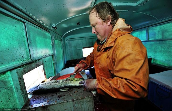 Как разводят лосося, кету, добыча икры лососёвых (32)