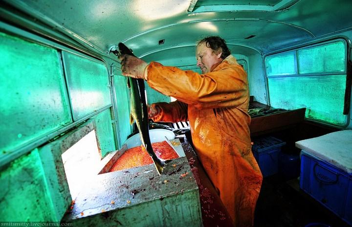 Как разводят лосося, кету, добыча икры лососёвых (33)