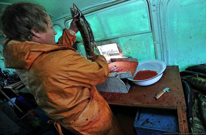 Как разводят лосося, кету, добыча икры лососёвых (34)