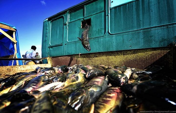 Как разводят лосося, кету, добыча икры лососёвых (37)