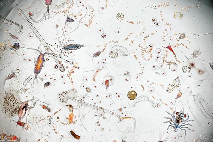 Из каких микроорганизмов состоит планктон (1)