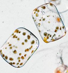Из каких микроорганизмов состоит планктон (8)