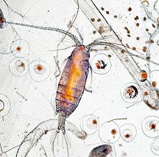 Из каких микроорганизмов состоит планктон (7)