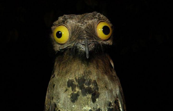 Исполинский козодой, птица - ветка, маскировка в окружающей среде (1)