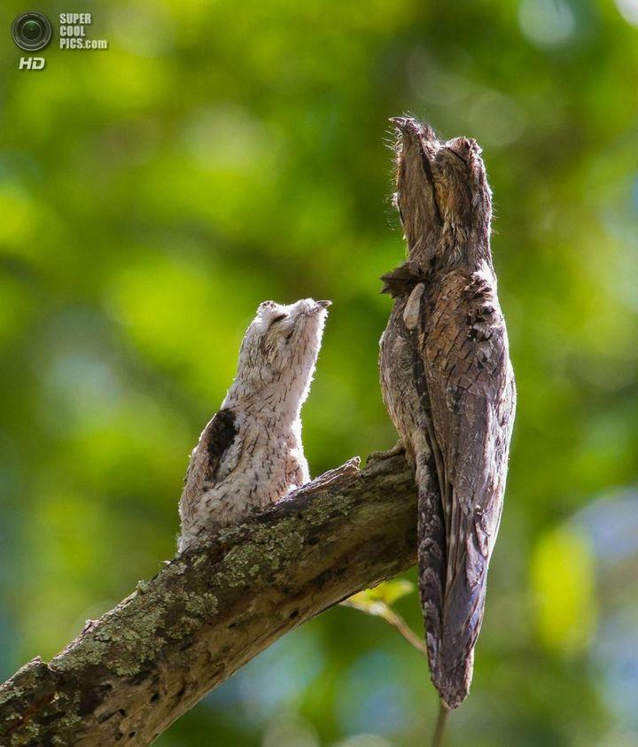 Исполинский козодой, птица - ветка, маскировка в окружающей среде (4)