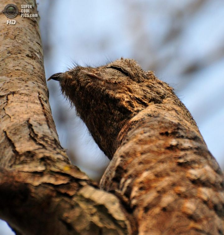 Исполинский козодой, птица - ветка, маскировка в окружающей среде (7)