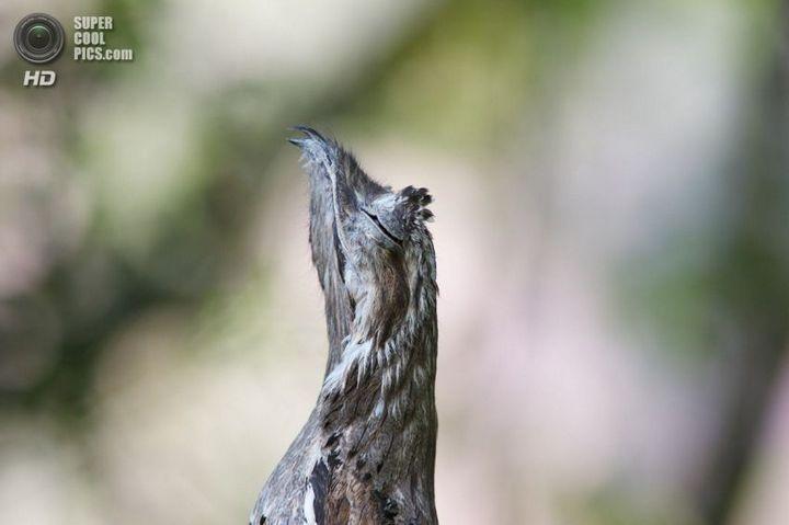 Исполинский козодой, птица - ветка, маскировка в окружающей среде (9)