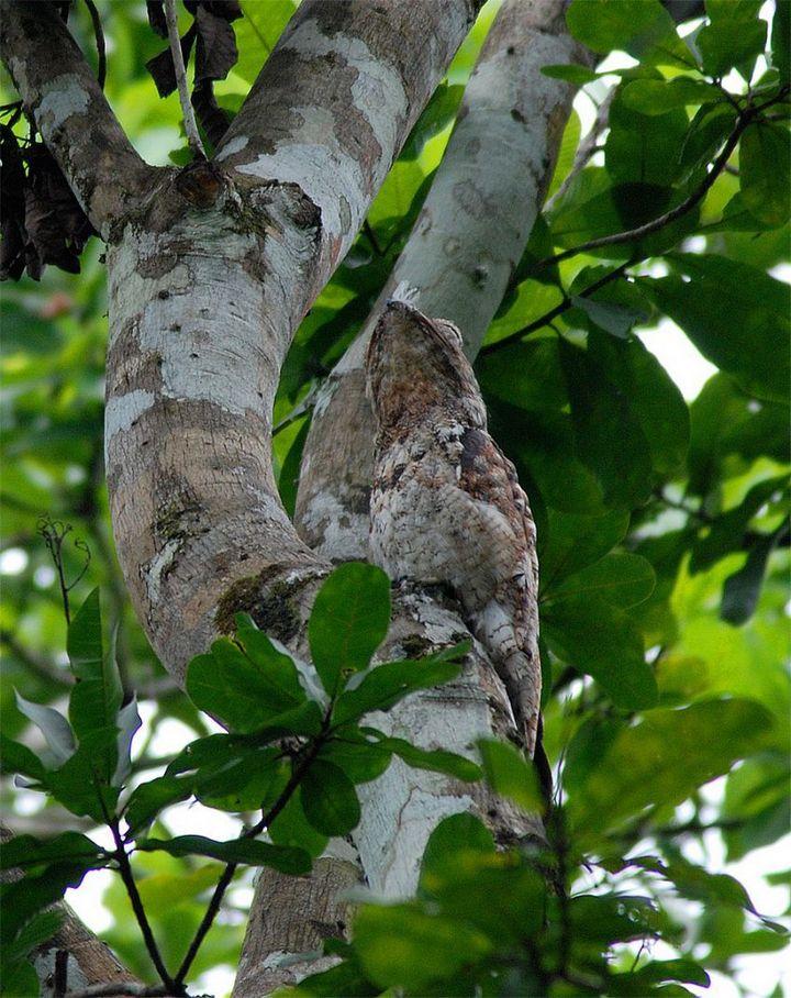 Исполинский козодой, птица - ветка, маскировка в окружающей среде (11)