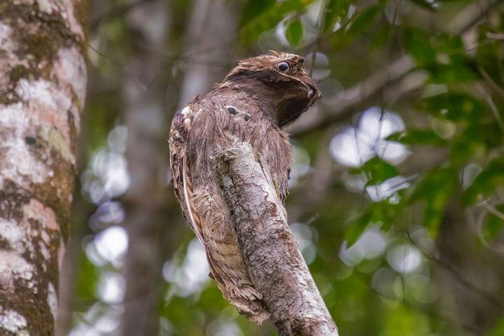 Исполинский козодой, птица - ветка, маскировка в окружающей среде (14)