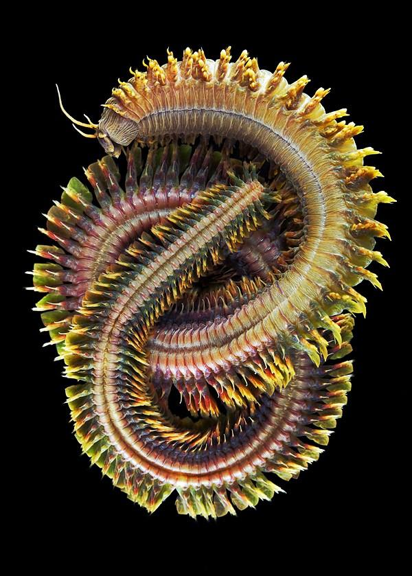 Макро фотографии морских червей (полихеты) (10)