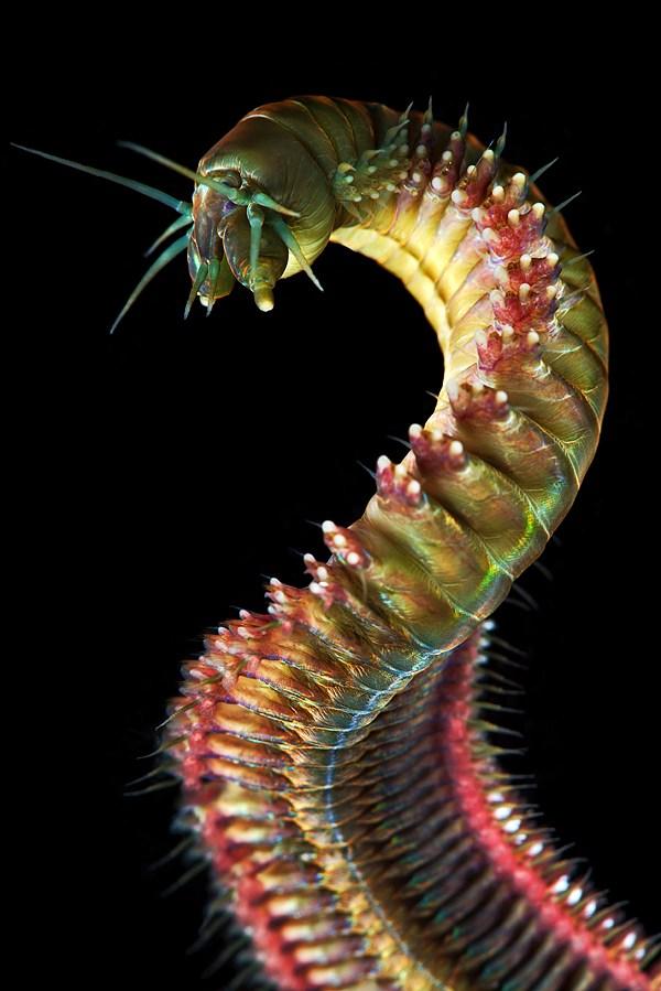 Макро фотографии морских червей (полихеты) (2)