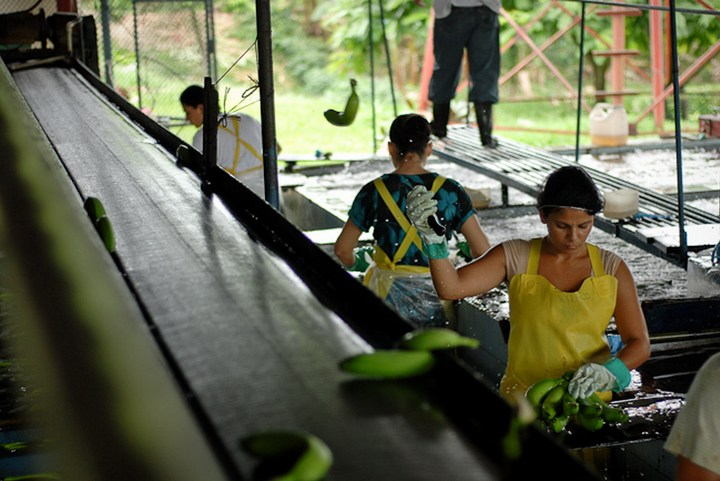 Как и где растут бананы, как их собирают (10)