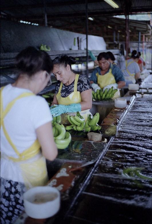Как и где растут бананы, как их собирают (11)