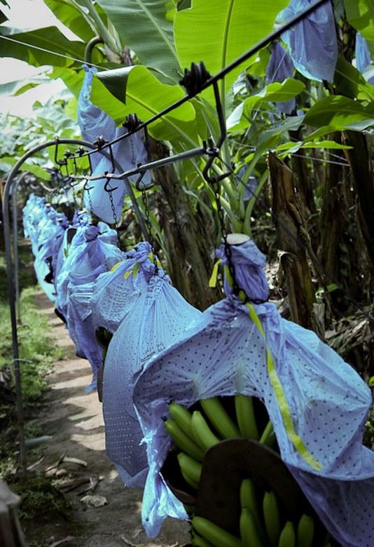 Как и где растут бананы, как их собирают (2)