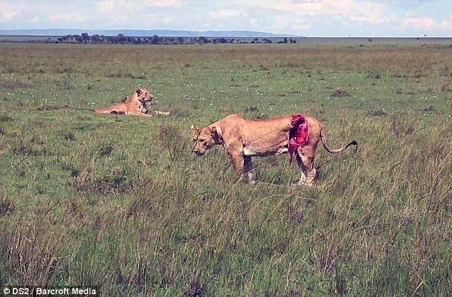 Спасение кенийской львицы после серьёзного ранения (2)