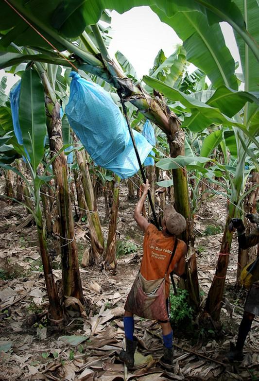 Как и где растут бананы, как их собирают (3)