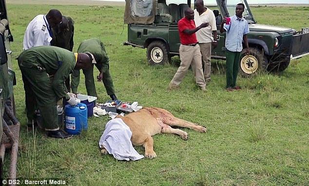 Спасение кенийской львицы после серьёзного ранения (3)