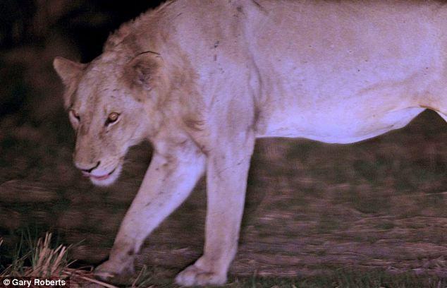 Львы три года кормили сородича, попавшего в капкан (2)