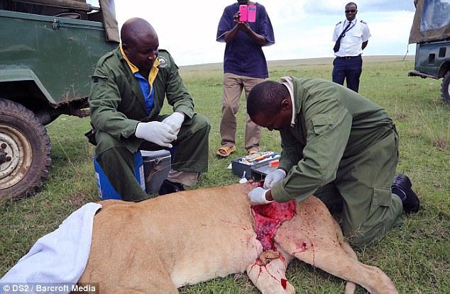 Спасение кенийской львицы после серьёзного ранения (4)