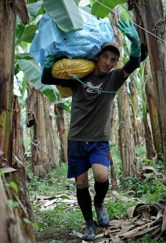 Как и где растут бананы, как их собирают (6)