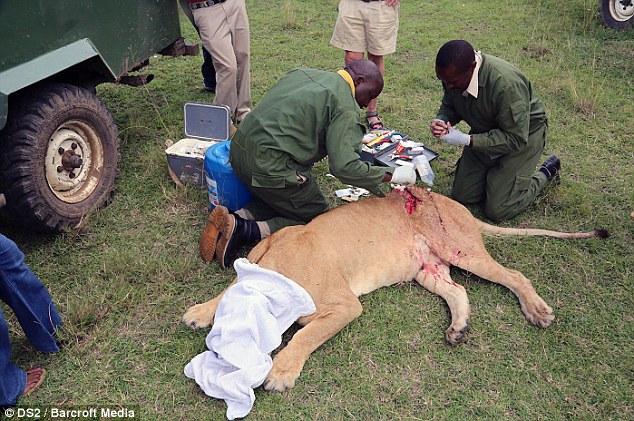 Спасение кенийской львицы после серьёзного ранения (6)