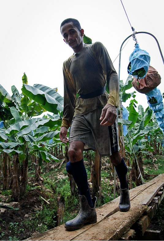 Как и где растут бананы, как их собирают (8)